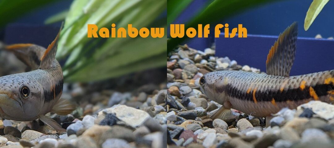 Rainbow wolf fish at Aquarium Artisans store in Cincinnati