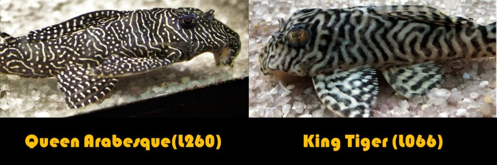 Queen Arabesque pleco L60 and King Tiger plecostomus L260