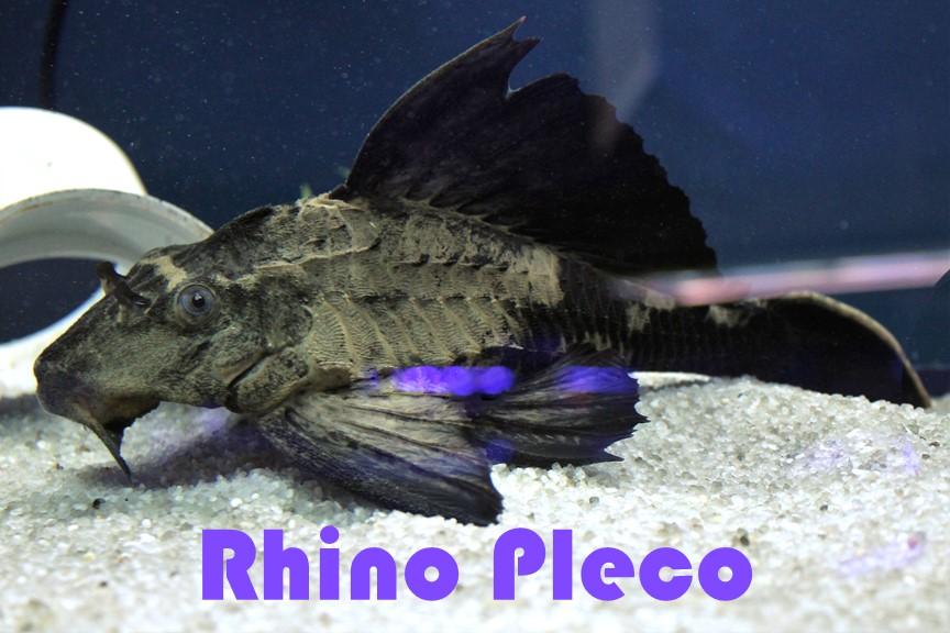 Rhino pleco