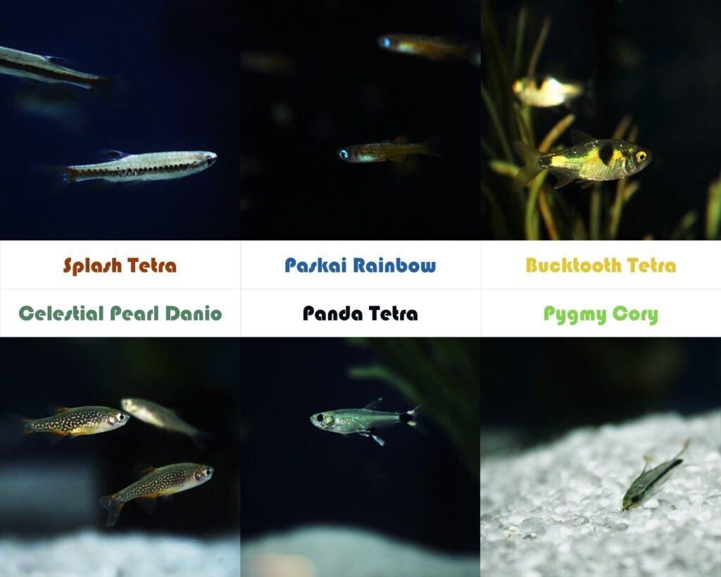The schooling and nano freshwater aquarium fish shown here at Aquarium Artisans in Cincinnati include: Splash Tetra, Paskai Rainbow, Bucktooth Tetra, Celestial Peral Danio (AKA Galaxy Rasbora), Panda Tetra, and Pygmy Cory.
