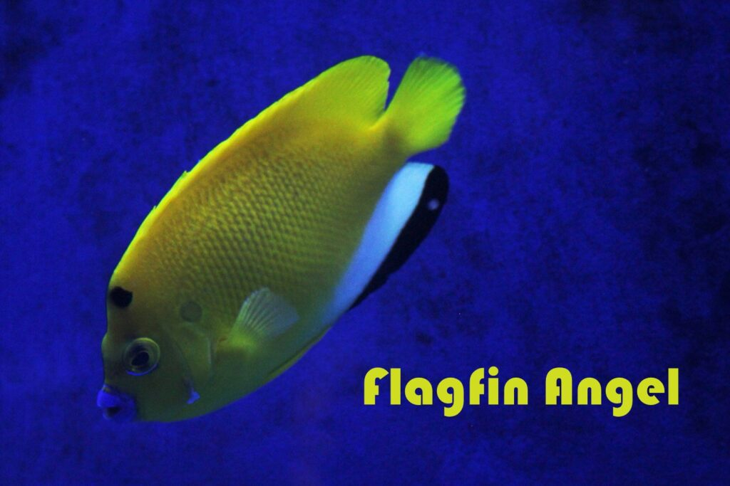 A yellow, black and white Flagfin Angelfish in a saltwater tank at Aquarium Artisans fishtank hobby store in Cincinnati, Ohio.