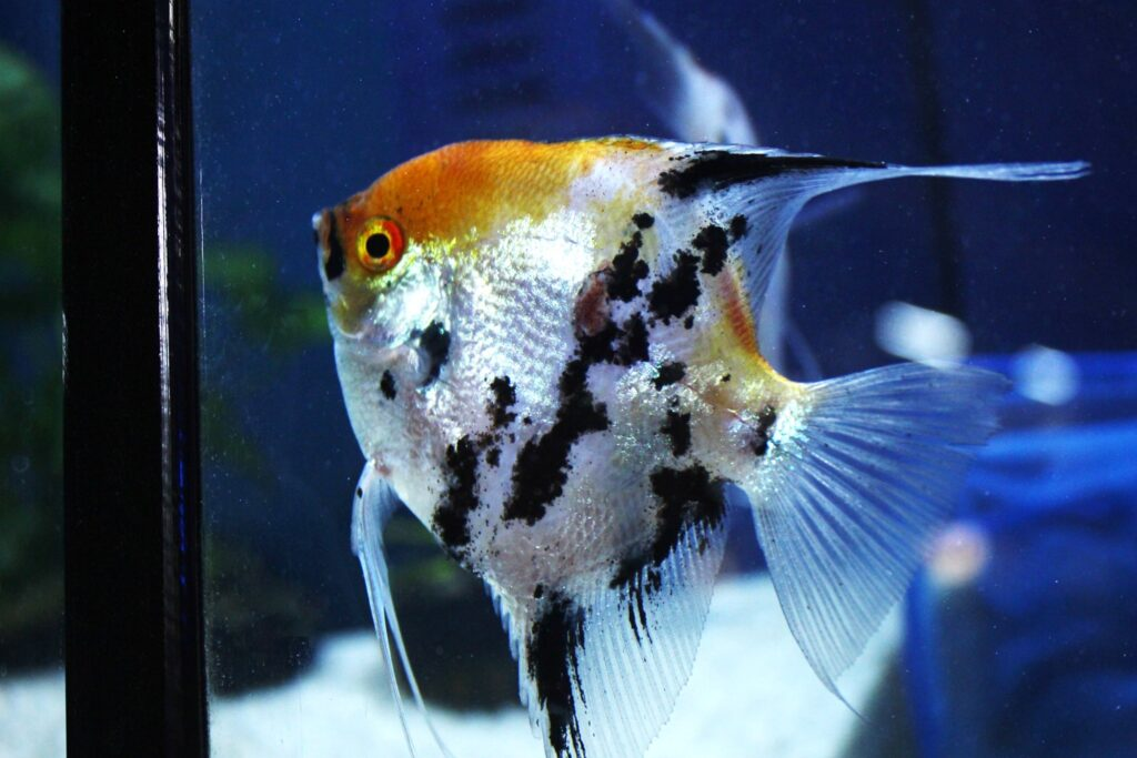 An orange, black and silver Marble Angelfish in a freshwater tank at Aquarium Artisans fish hobby store in Cincinnati, Ohio.