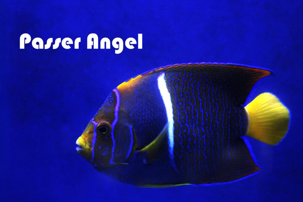 A purple, blue, white and yellow Passer Angelfish in a saltwater tank at Aquarium Artisans fish hobby store in Cincinnati, Ohio.