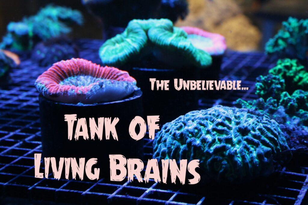 A tank full of technicolor Brain Corals at Aquarium Artisans reef hobby store in Cincinnati, Ohio.7
