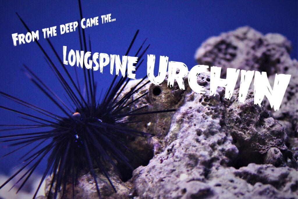 A deep black longspine urchin at Aquarium Artisans fish and reef hobby store in Cincinnati, Ohio.