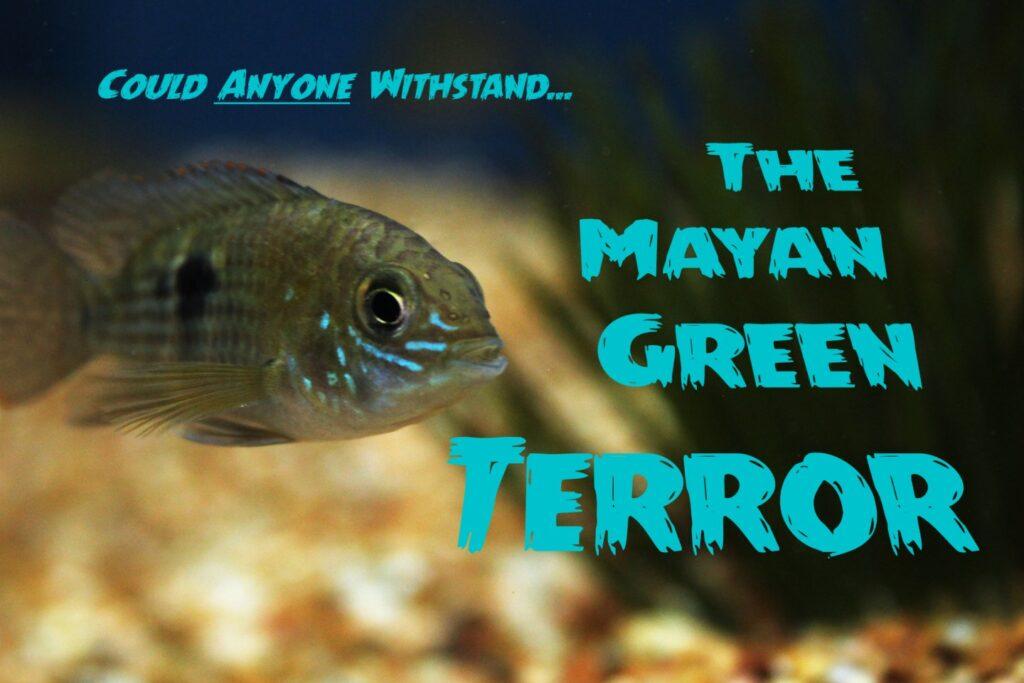 A Mayan Green Terror cichlid at Aquarium Artisans fish hobby store in Cincinnati, Ohio.
