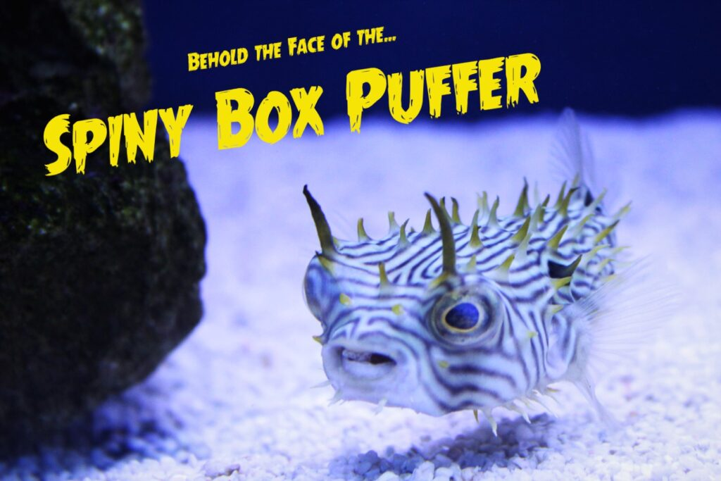 Behold the devilishly charming countenance of a Spiny Box Puffer at Aquarium Artisans fish hobby store in Cincinnati, Ohio.
