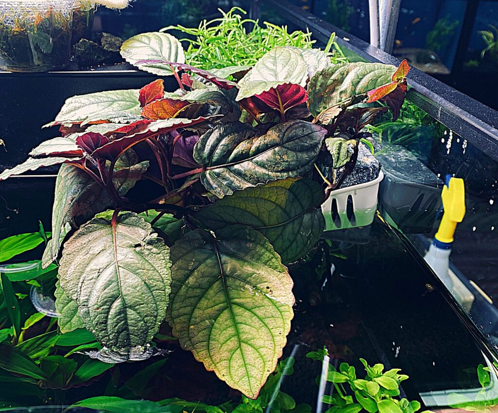 Purple Waffle Plant (aka Red Ivy) in the aquatic plant display tank at Aquarium Artisans in Cincinnati