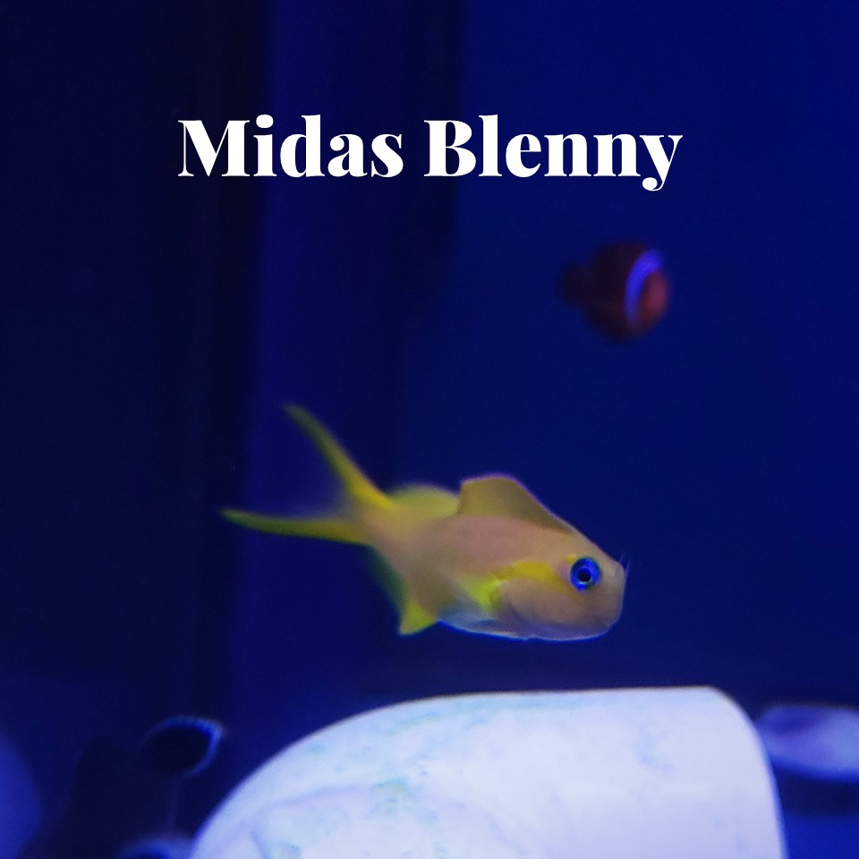 A bright yellow and neon blue Midas Blenny in a saltwater tank at Aquarium Artisans local fish store in Cincinnati, Ohio.