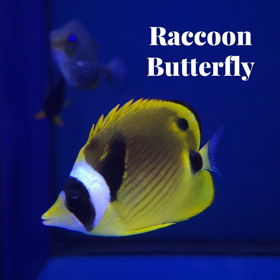 A bright yellow, white and black Raccoon Butterflyfish in a saltwater tank at Aquarium Artisans local fish store in Cincinnati, Ohio.